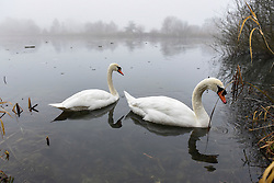 © Licensed to London News Pictures. 25/01/2017. London, UK. A pair of swans appear through the mist as thick freezing fog lingers during the afternoon, reducing visibility at Rickmansworth Aquadrome, in north west London. Photo credit : Stephen Chung/LNP
