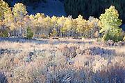 Early Morning Sunlight on Sagebrush Pasture and Colorful Autumn Aspen Tees, Sun Valley, Idaho