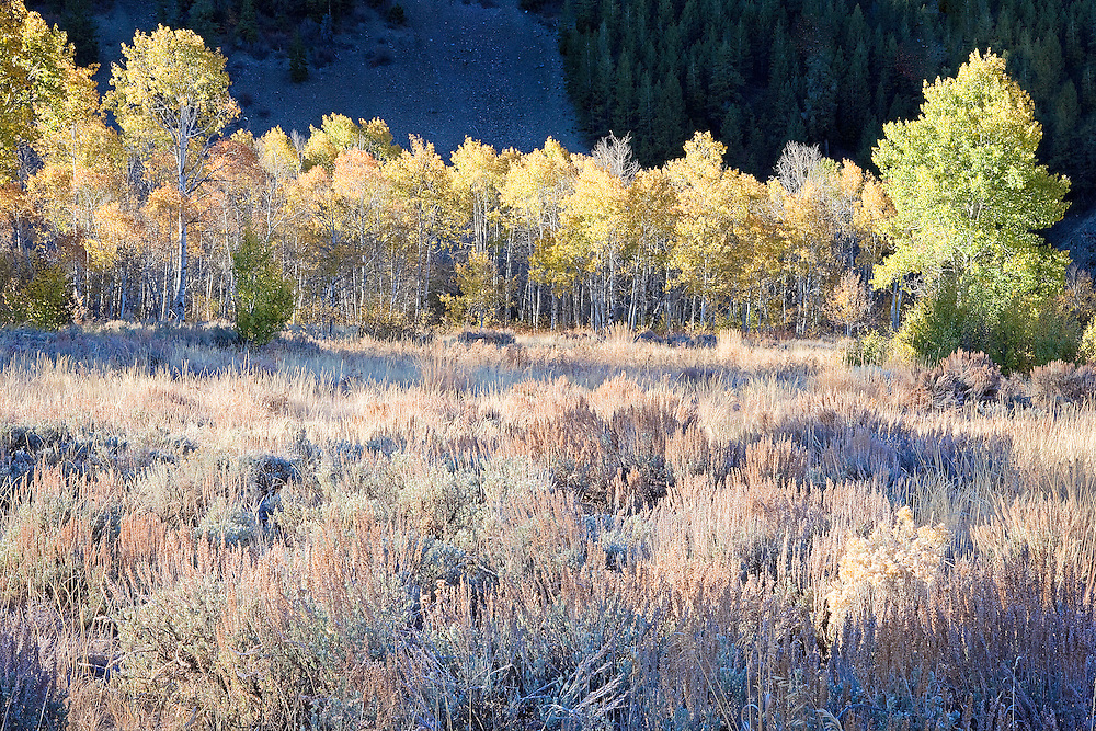 early morning sunlight on sagebrush pasture and colorful autumn aspen trees