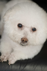 Penelope - Bichon Frise