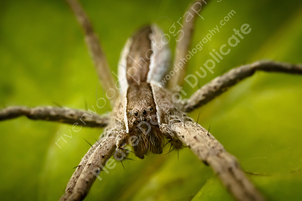I don't know much about spiders other than to know that this one is a little different.  It creates micro webs in the leaves of plants and does a great job of catching flies and bugs in those webs...©2010, Sean Phillips.http://www.RiverwoodPhotography.com