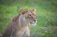 Close-up of lioness in the wild, Linyati Wildlife Preserve, Botswana, Africa. http://www.gettyimages.com/detail/photo/lion-close-up-botswana-royalty-free-image/119251844