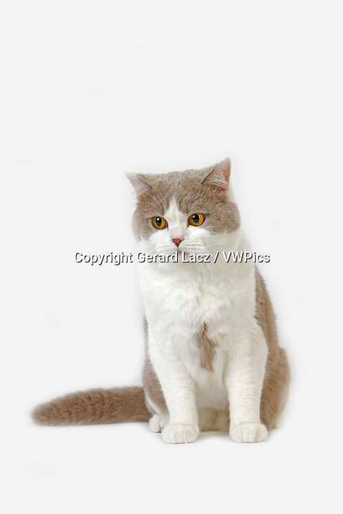 Lilac and White British Shorthair Domestic Cat, Male against White Background