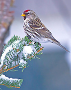 Alaska. Common Redpoll (Carduelis flammea) on perched on a snowy spruce bough, Anchorage.