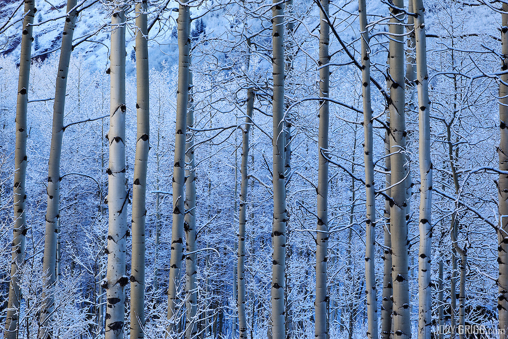 Morning reflective light adds a warm glow to aspen boles, in the Maroon Bells-Snowmass Wilderness Area outside of Aspen.