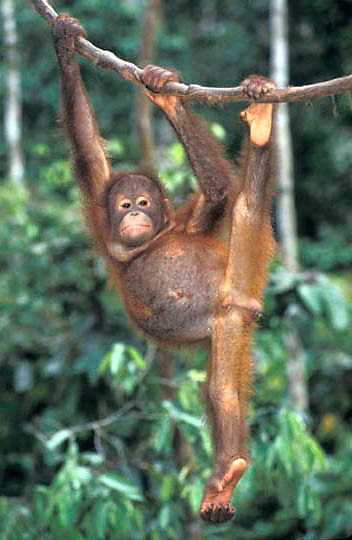 Orangutan, (Pongo pygmaeus) Juvenile hanging from vine in rain forest. Northern Borneo. Malaysia. Controlled Conditons.