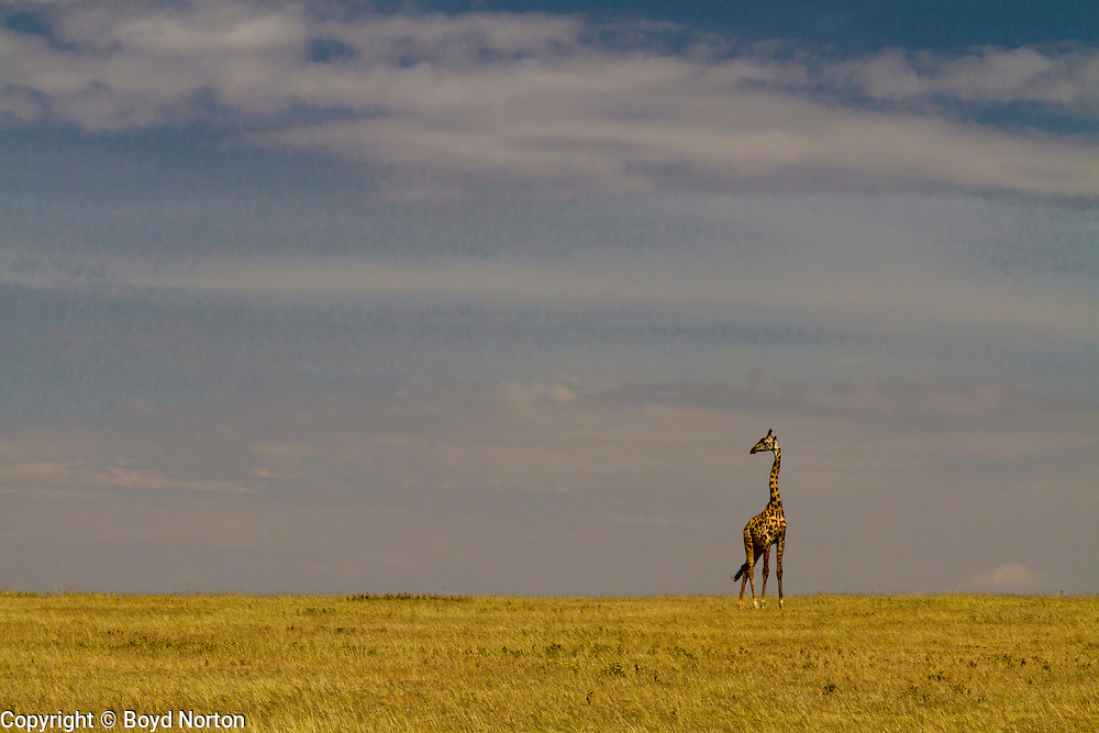 Lone giraffe on the vast plains of Serengeti National Park, Tanzania.