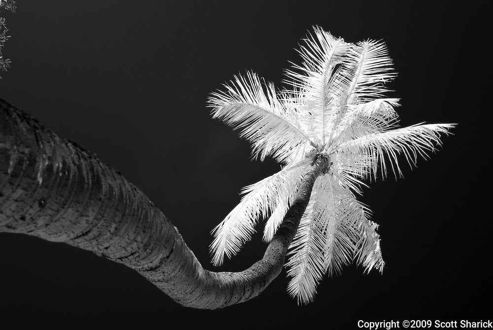 An infrared image of a single palm tree.