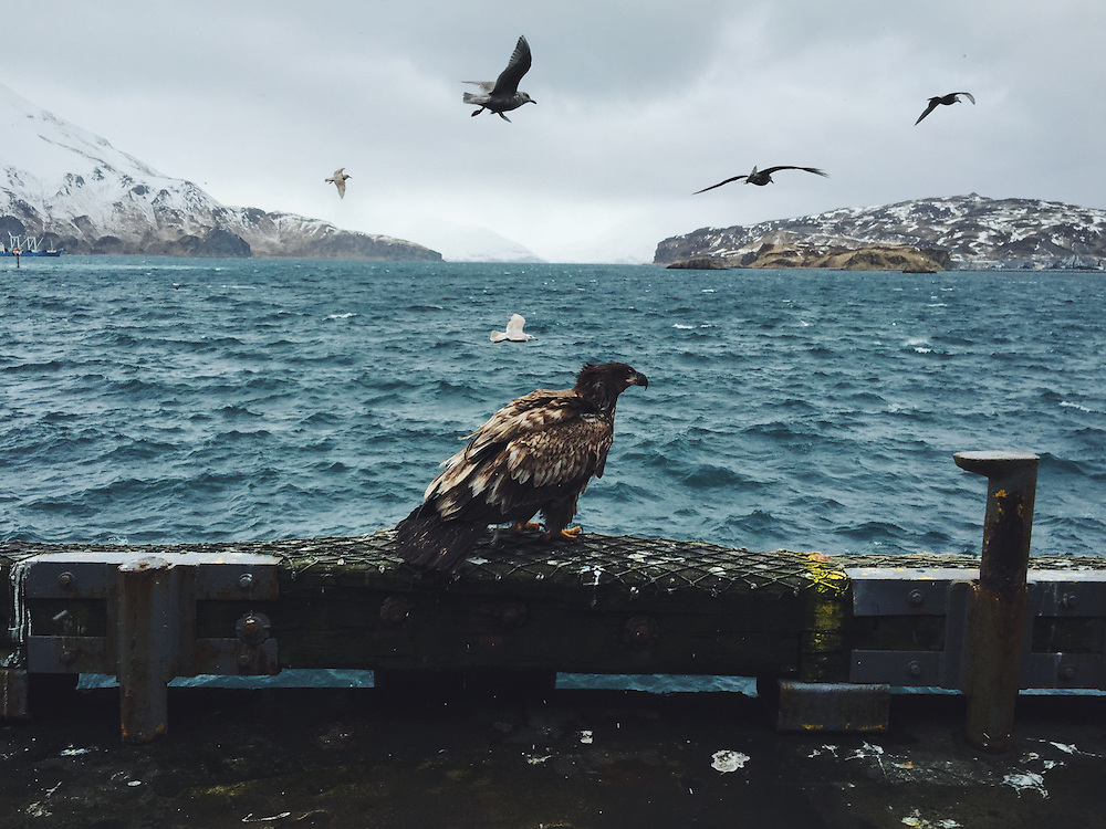 Bald Eagles are a common sight in Dutch Harbor, Alaska. Taken with an iPhone
