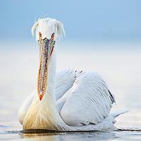 Dalmatian Pelicans of Kerkini