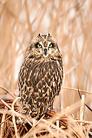 Vertical Image of a Short Eared Owl resting in a northern Utah marsh some say this Owl's numbers are not what they were but this photographer seems to see the same numbers that I find each year January 2017.