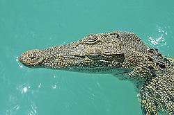 Fabulous patterns on the hide of a Kimberley crocodile.
