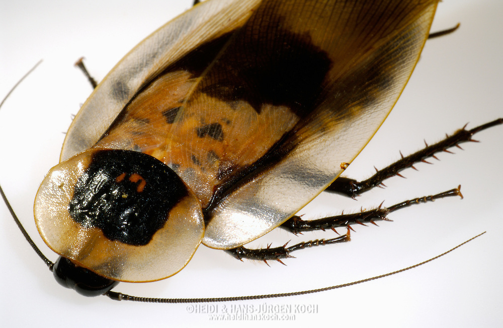 Deu, Deutschland: Totenkopfschabe (Blaberus craniifer)   Deu, Germany: Death?s head cockroach (Blaberus craniifer)  