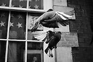 An American flag hangs in the window of a Manhattan apartment as a pair of pigeons fly about outside. Barely visible is a portrait of Theodore Roosevelt, the United States' 26th President.