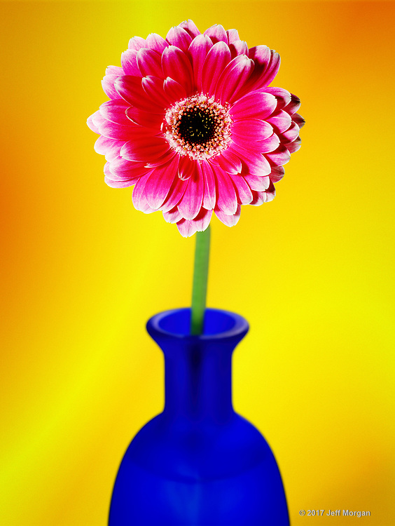 Gerber daisy on a blue glass bottle.