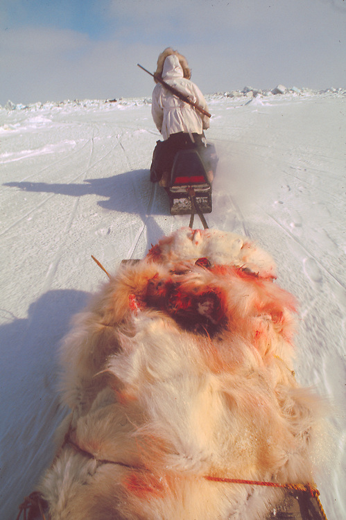 Alaska . Native hunter carrying away the carcass of a polar bear .