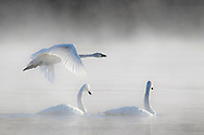 A trio of trumpeter swans glide through the early morning fog in Yellowstone's Hayden Valley. These elegant birds are making a comeback in the Greater Yellowstone Ecosystem and are always a welcome sight on the park's many waterways.