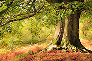 Autumn tones creep around this fine Beech tree, deep in Cumbrian woodlands.