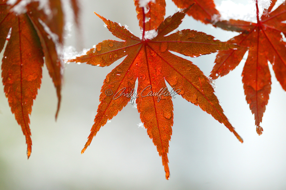Japanese maple leaves with snowflakes