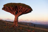 Yemen, ile de Socotra, Sang Dragon, Dracaena Cinnabari.  // Yemen, Socotra island, Dragon tree, Dracaena Cinnabari.
