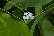 Myosotis arvensis, Forget-me-nots in a forest in eastern Massachusetts