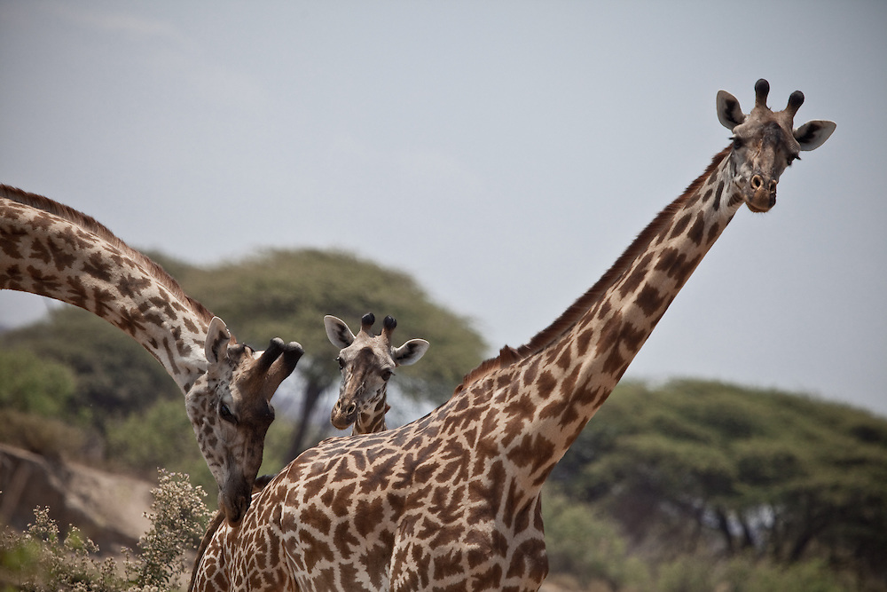 Giraffe in Ruaha National Park, Tanzania