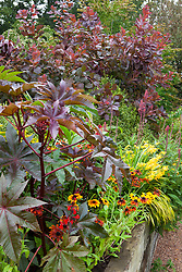 Pot of Ricinus communis placed in a border with Rudbeckia 'Rustic Dwarf', Crocosmia 'Walberton Yellow' syn. 'Walcroy' and Lobelia tupa. Castor oil plant