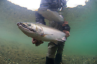 A Happy Angler shows off his catch---silver salmon...Kanektok River..shot in Alaska, USA..