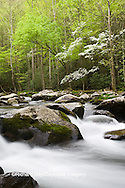 66745-04214 Dogwood trees in spring along Middle Prong Little River, Tremont Area, Great Smoky Mountains National Park, TN