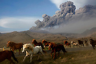 A herd of horses cross the road as they commute to an other pasture south of Iceland's Eyjafjallajokull.<br />