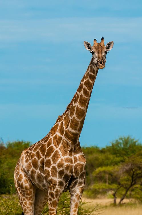 Giraffes, Nxai Pan National Park, Botswana.