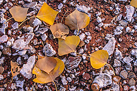 Fallen autumn cottonwood leaves on mineral encrusted rocks; Crack Canyon Wash, Utah