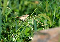 Female Cinnamon-rumped Seedeater (formerly) White-collared Seedeater), (Sporophila torqueola) feeding on seeds in grasses at edge of Lake Chapala Jocotopec, Jalisco, Mexico