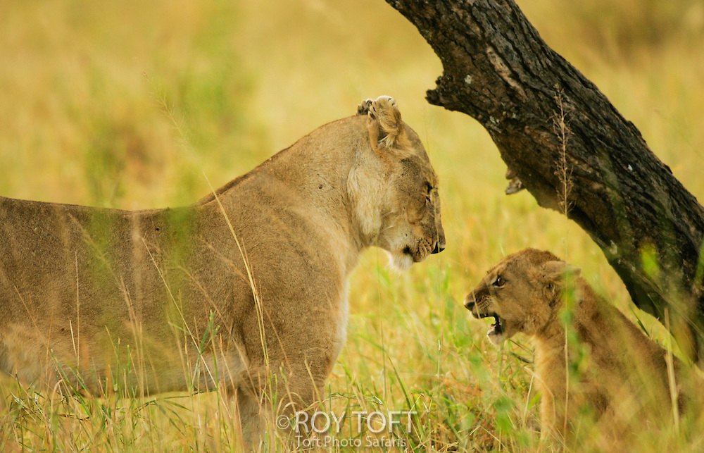 African Lion (Panthera leo) and cub in grasslands, Tanzania.