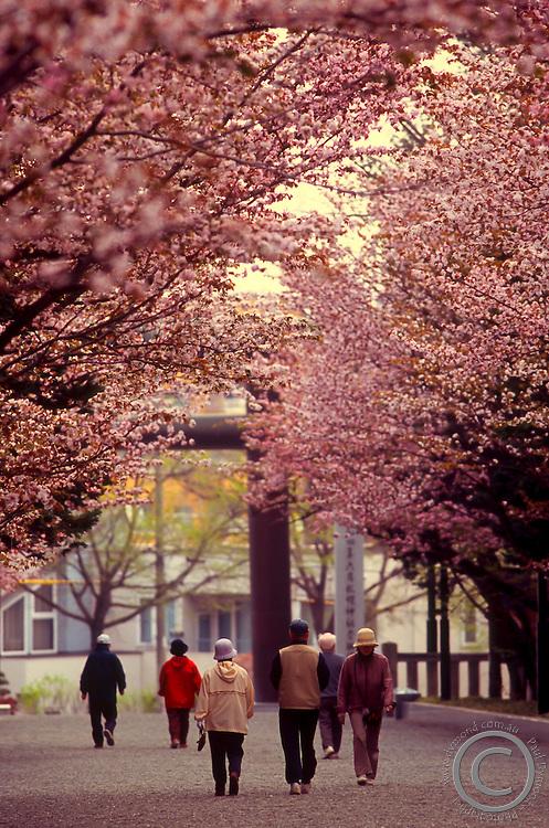 Sakura cherry blossoms line the pathway to Hokkaido's largest Shinto Shrine - Hokkaido Jingu.