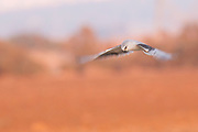 Black-winged Kite (Elanus caeruleus) in flight. Also called the black-shouldered kite, this bird-of-prey is found in sub-Saharan Africa and tropical Asia. Photographed in Ein Afek Nature Reserve, Israel in summer, August