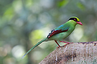 The common green magpie (Cissa chinensis) is a member of the crow family.  It is a vivid green in colour, slightly lighter on the underside and has a thick black stripe from the bill (through the eyes) to the nape.