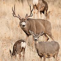 mule deer buck with does