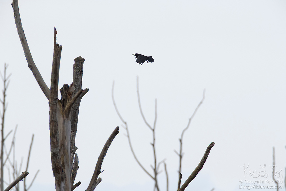 An American crow (Corvus brachyrhynchos) flies with a morsel of food over stark snags along Wiley Slough in the Skagit Wildlife Area near Mount Vernon, Washington.