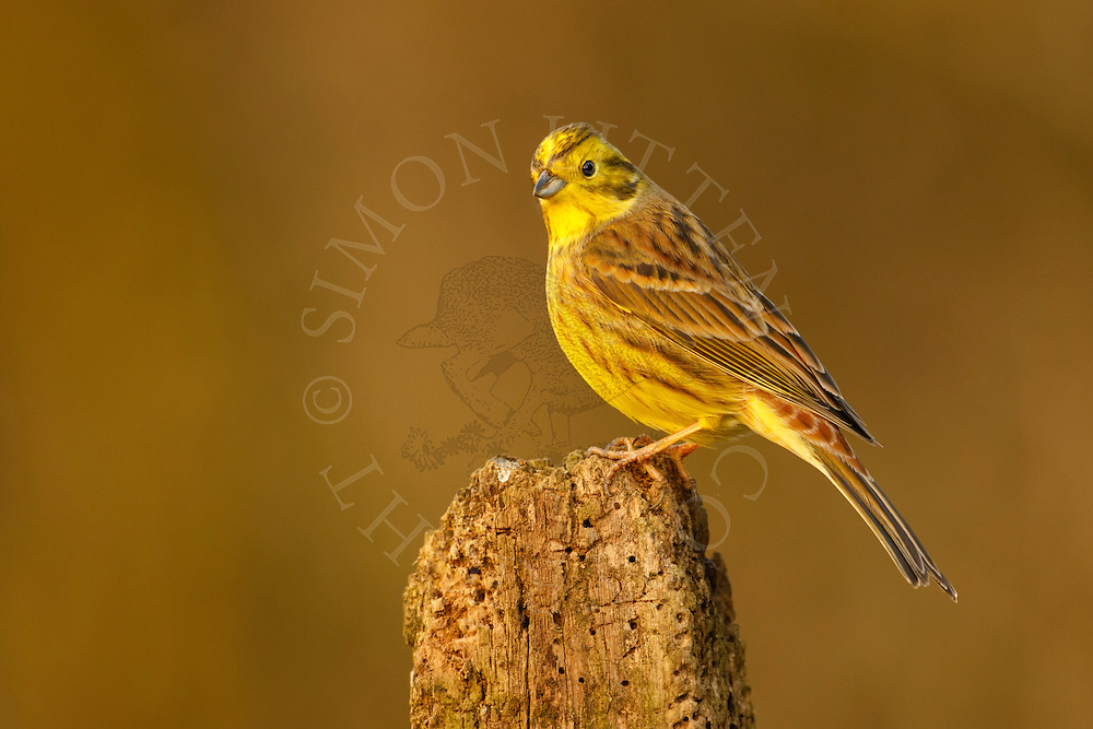 Yellowhammer (Emberiza citrinella) adult perched on post, Norfolk, UK.