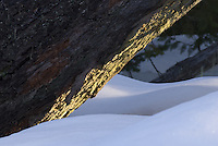 Early morning sunlight highlights the underside of a mossy douglas fir tree in winter