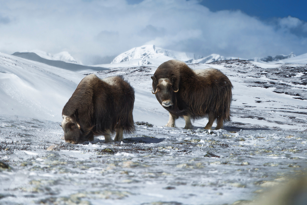 The amazing-looking musk-oxen of Dovrefjell National Park weren't too shy this time around. But the light was. Luckily, the clouds parted just long enough to reveal the Snøhetta mountain and give me a nice opportunity to photograph this magnificent animal in a beautiful part of the country. Dovrefjell National Park is located between Trondheim and Oppdal, and one of the very few places where one can see the musk ox, a living relic of the last Ice Age.