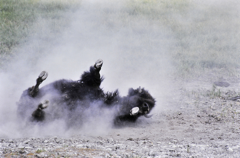 In rut, dustbath. Yellowstone National Park, Wyoming