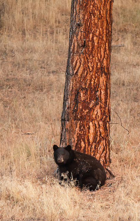 Black Bear (Ursus americanus), Missoula, Montana