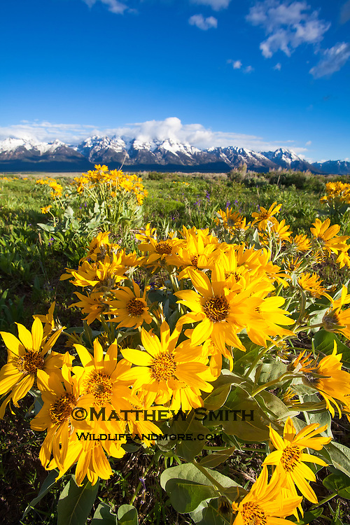 Spring Wildflowers with in Grand Teton National Park