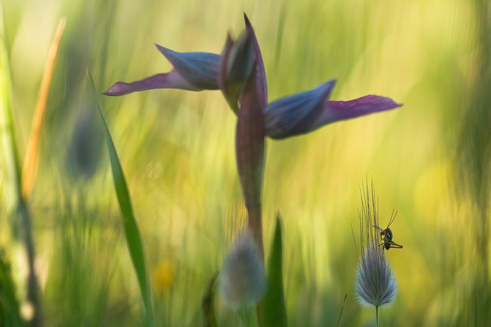 Apulia; Gargano Peninsula; Italy; Serapias lingua; Tongue Orchid