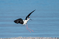 Black-necked stilt in flight, slowing for landing on gravel bar on the shore of the Salton Sea, California. © 2011 David A. Ponton
