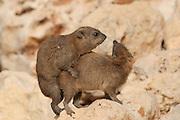 Israel, Judean Desert, Rock Hyrax, (Procavia capensis) mating