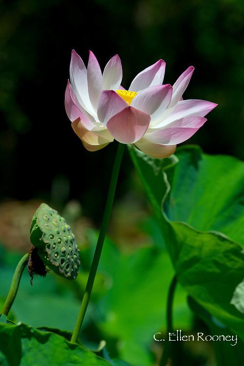 Lotus (Nelumbo nucifera)  at The Seewoosagur Ramgoolam Royal Botanical Garden, Pamplemousses, Mauritius