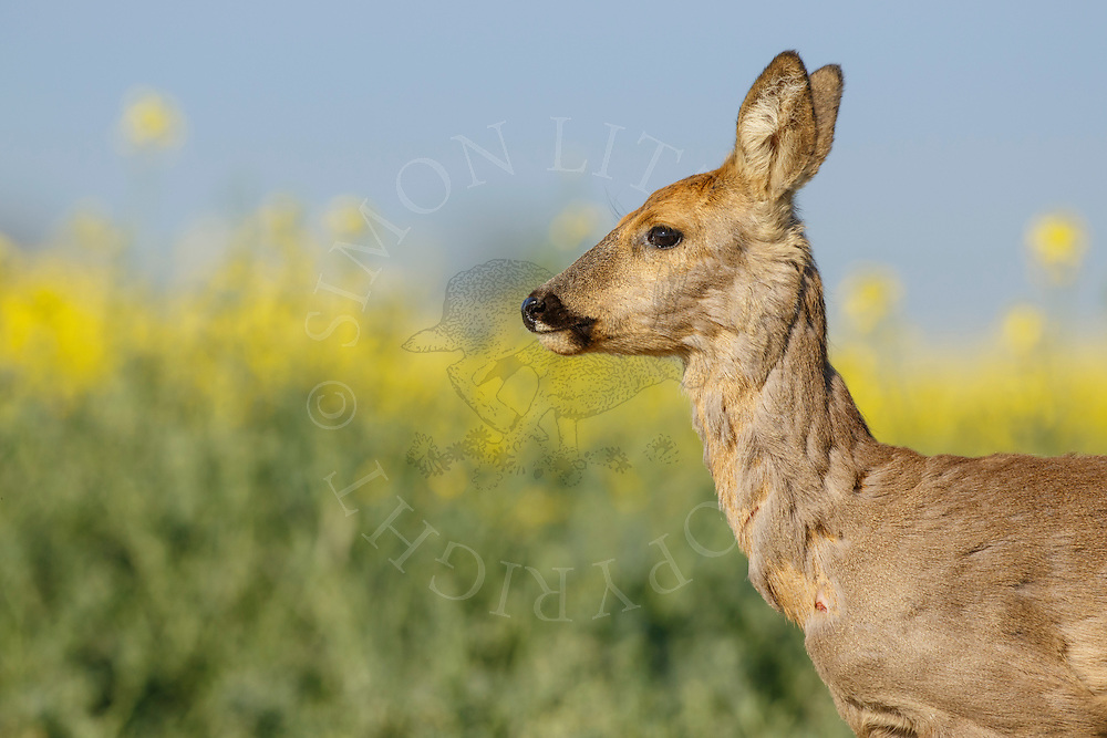 Western Roe Deer (Capreolus capreolus) female in moult by oilseed rape crop, South Norfolk, UK. May.